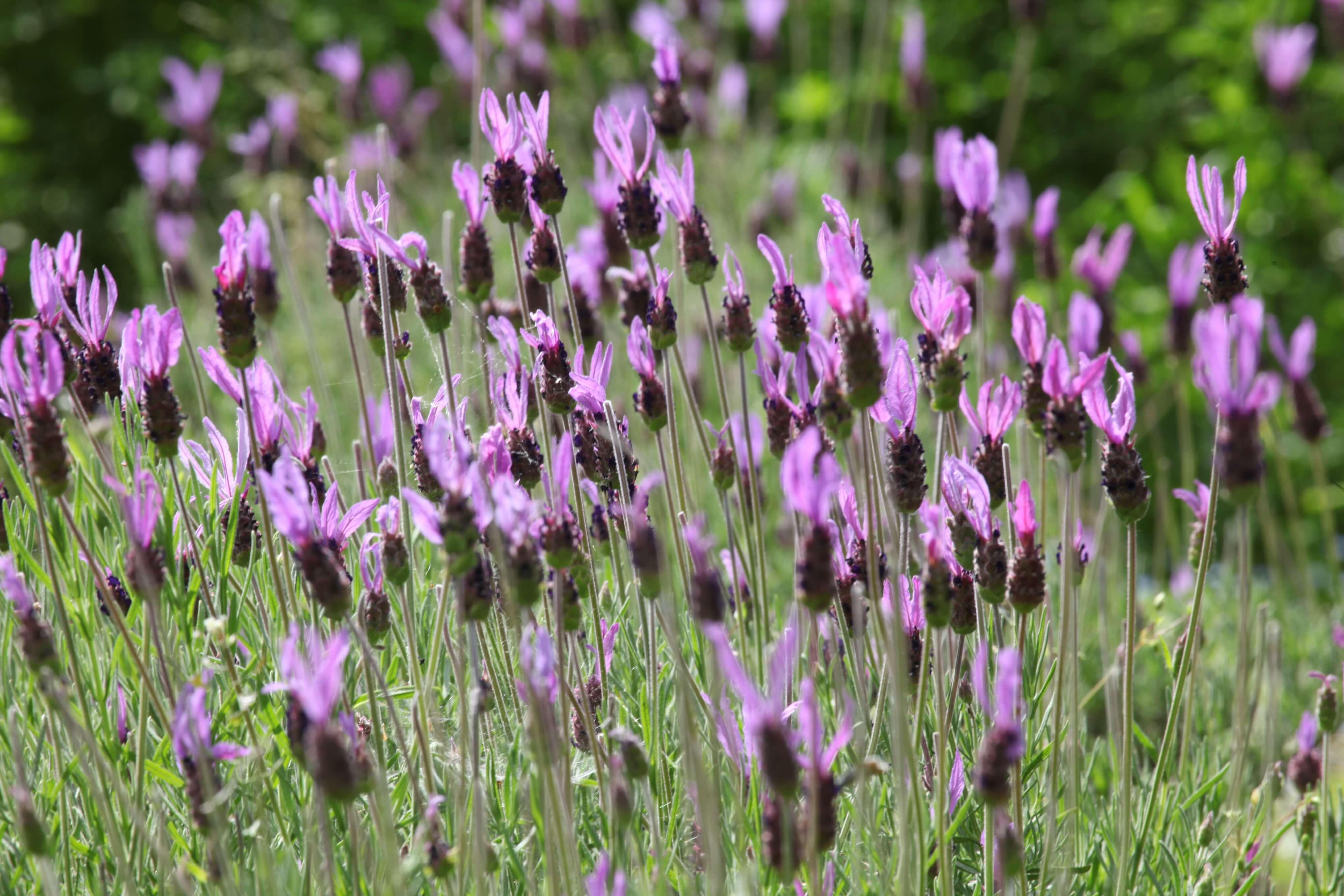 Como cuidar la lavanda latest adems de su dulce perfume for Lavanda cultivo o cuidados